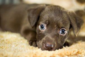 Assurance chiens